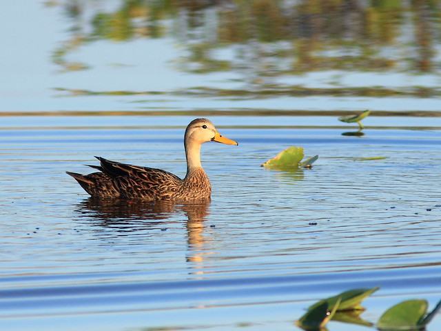 Mottled Duck 20121126