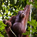 Wild Orangutan - Borneo Rainforest Lodge (Dani Free)