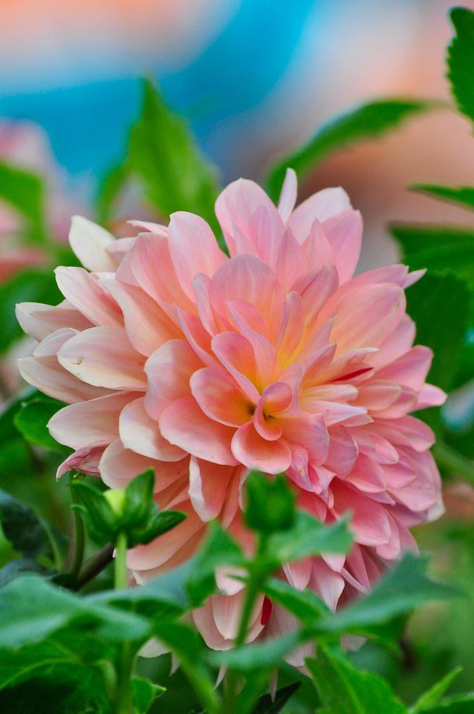 Taipei Chrysanthemum Floral Show 台北士林官邸菊展