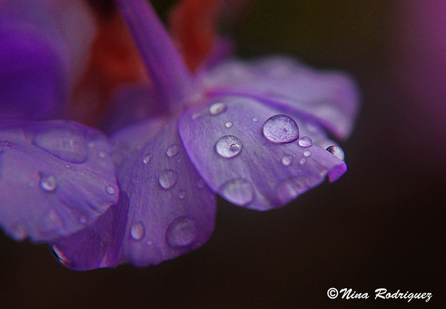 Purple Rain Drops | Flickr - Photo Sharing!