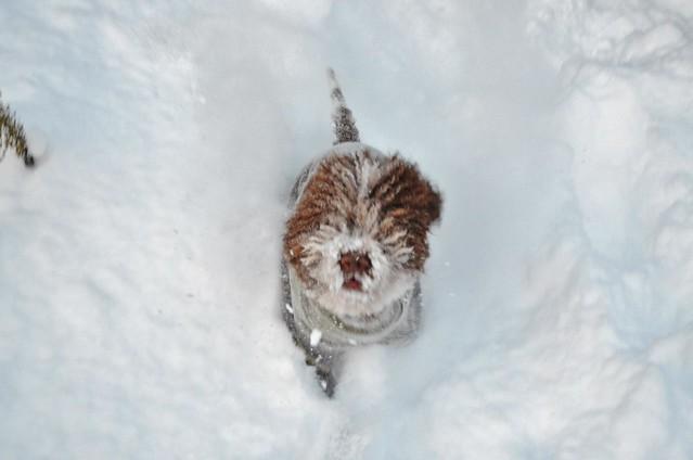 Osku leikkii lumessa