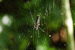 arthropod, argiope, animal, spider, nature, invertebrate, macro photography, green, fauna, close-up, spider web,
