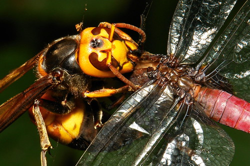 Asian Giant Hornet (Vespa mandarinia) devouring a dragonfly caught in a spider web
