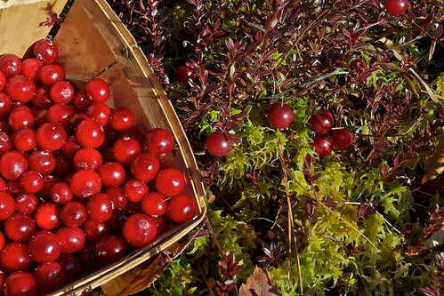 A Late Cranberry Harvest | by Distant Hill Gardens