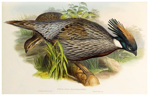 004-Himalayan Pucras Pheasant-The birds of Asia vol. VII-Gould, J.-Science .Naturalis
