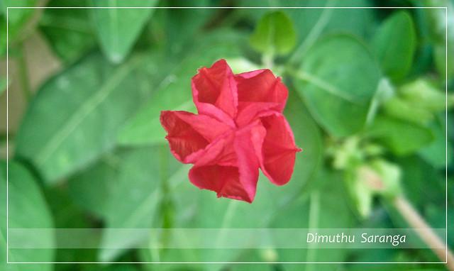 Hendirikka flower blooming........ | Flickr - Photo Sharing! Hendirikka Flower