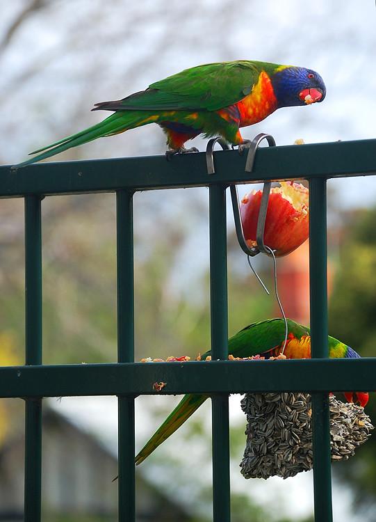 _parrots_4_