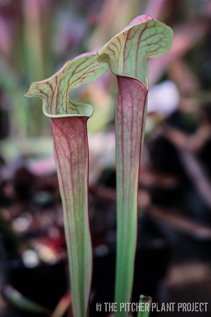 Sarracenia 'Love Bug' x flava v. rubricorpora