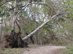 PHOTO: An Uprooted tree at Elizabeth A. Morton National Wildlife Refuge. Credit: Todd Weston/USFWS