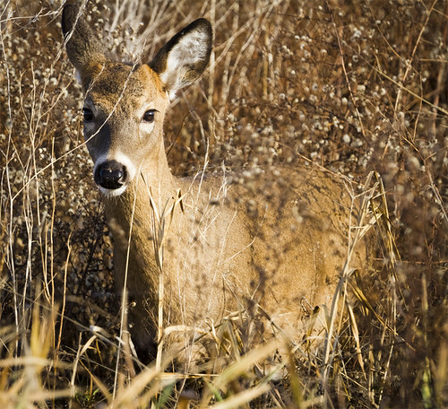 Deer at Horicon by Ricky L. Jones Photography