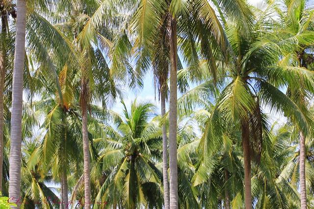 Raya Island palm trees by Chic n Cheap Living