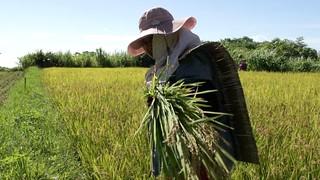 海稻米蘊含族人滿心希望,穿戴著阿美收割專用的服裝,在田裡蔚成獨特的風格。(圖片來源:林務局)