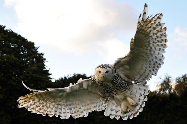 Snowy Owl by Mark Pike, Dorset, UK