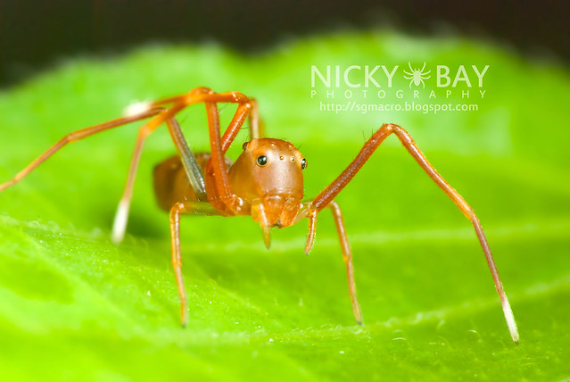 Ant-mimic Crab Spider (Amyciaea lineatipes) - DSC_6846