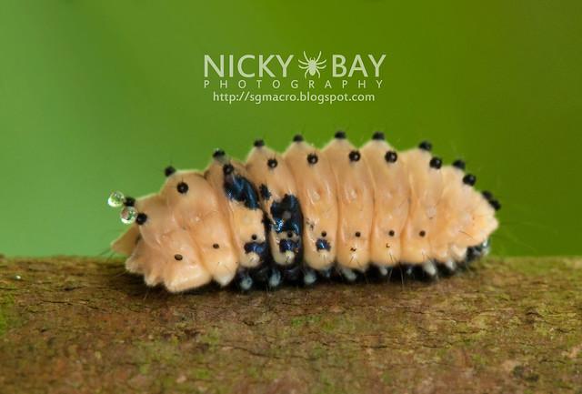 Day Flying Moth larva - DSC_6714