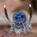 _X8A1713 (1) Maratus speciosus (coastal peacock spider) by Jurgen Otto
