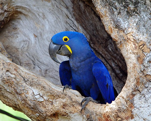 Hyacinth Macaw by masaiwarrior