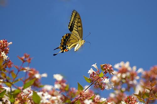 butterfly24