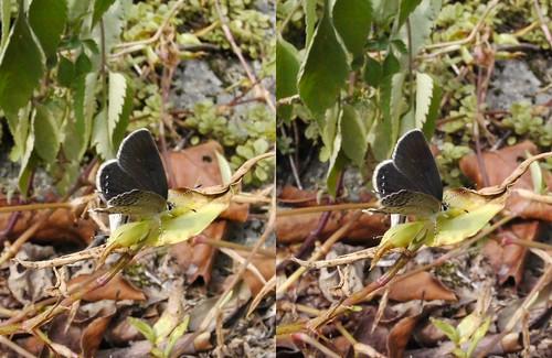 Tongeia fischeri, stereo parallel view