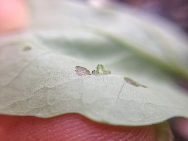 Caterpillar Study
