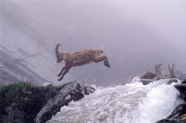 young Capra ibex jumping across the creek by Riccardo Oggioni, Monza, ITALY