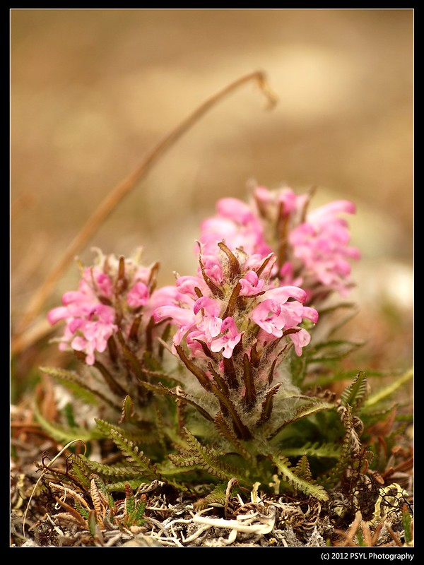 Woolly Lousewort (Pedicularis lanata)