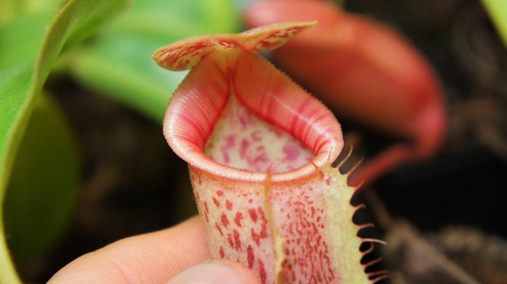 N. Eymae X Stenophylla X lowii X X Trusmadiensis