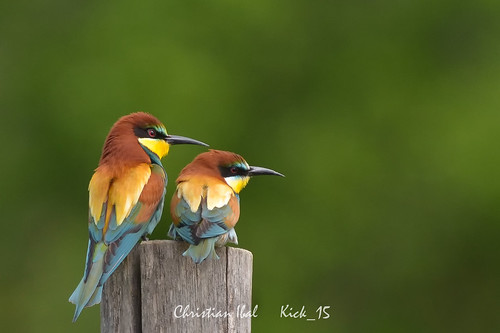 Guépiers d'Europe - European Bee-eaters