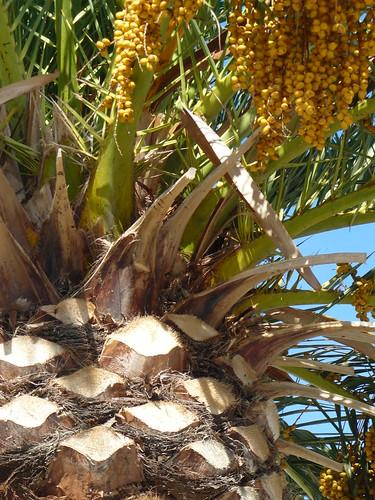 détail de la taille des palmiers à Banyuls by Claudie K - on/off quelque temps