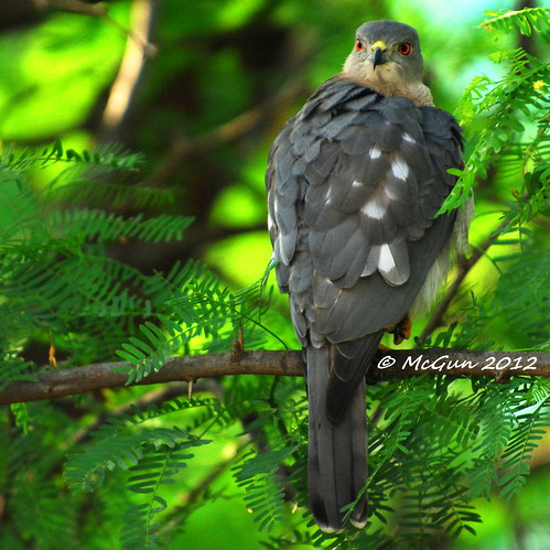Juvenile Shikra by McGun