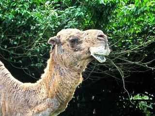 IMG_1510 Camel