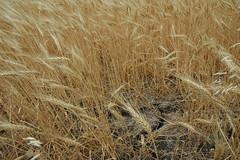 Drought Stunted Wheat