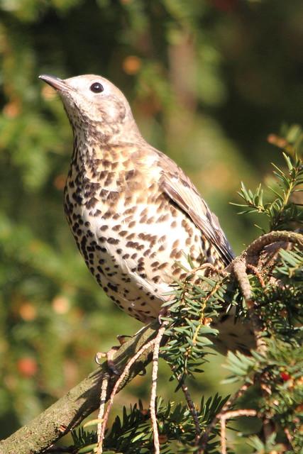 Mistle Thrush, Roberts's Park. Very noisy birds.