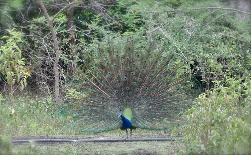 africa bird nature tanzania wildlife peacock fowl arusha eastafrica thegalaxy portraitofapeacock rememberthatmomentlevel1 rememberthatmomentlevel2 mtmerugamelodge