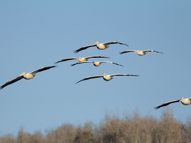 American White Pelicans arriving 20121201