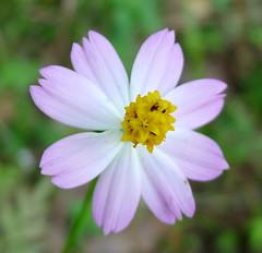 garden cosmos(0.0), plant(0.0), marguerite daisy(0.0), produce(0.0), oxeye daisy(0.0), annual plant(1.0), flower(1.0), macro photography(1.0), herb(1.0), wildflower(1.0), flora(1.0), cosmos(1.0), petal(1.0),