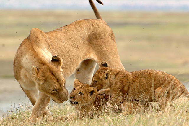 Lioness & cubs in Crater.HR.RM