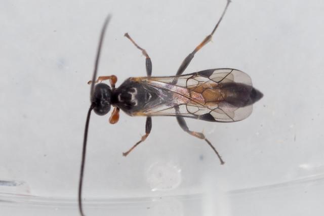 Wasp- Drepanoctonus bifasciatus??
