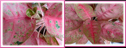 Aglaonema 'Legacy': lovely cone-shaped emerging leaf
