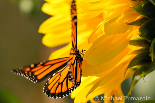 October Monarch & Sunflower - 02