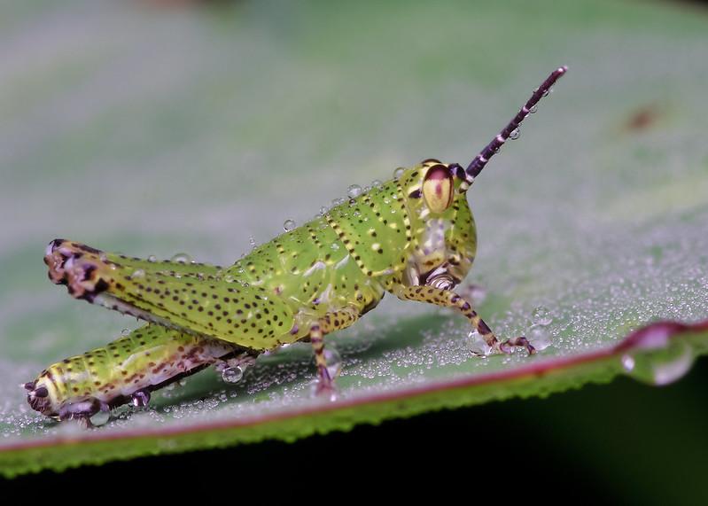[IMGP0432-pp] Grasshopper