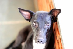 dog breed, animal, hound, dog, sighthound, pet, italian greyhound, greyhound, carnivoran, mexican hairless dog,