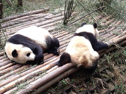 Lolling pandas
