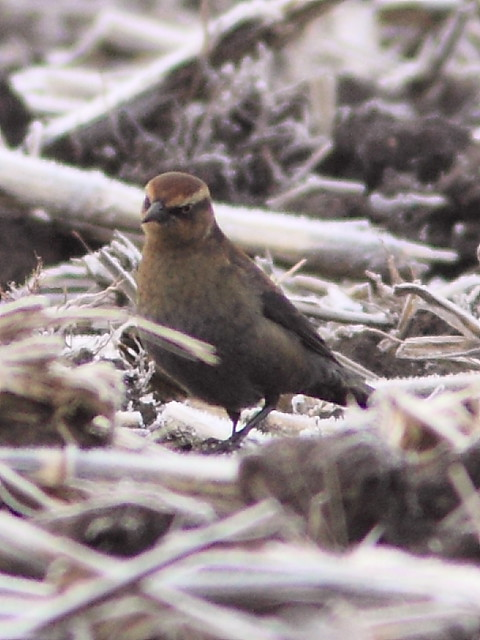 Rusty Blackbird female 3-20121115