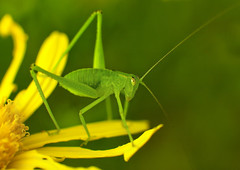 [Free Images] Animals 2, Insects, Katydid ID:201211210400