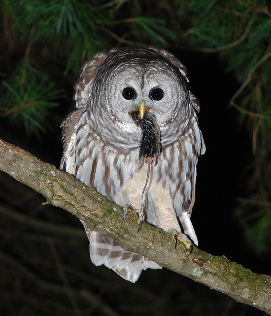 Owl 57 Barred Owl (Junior) (2...