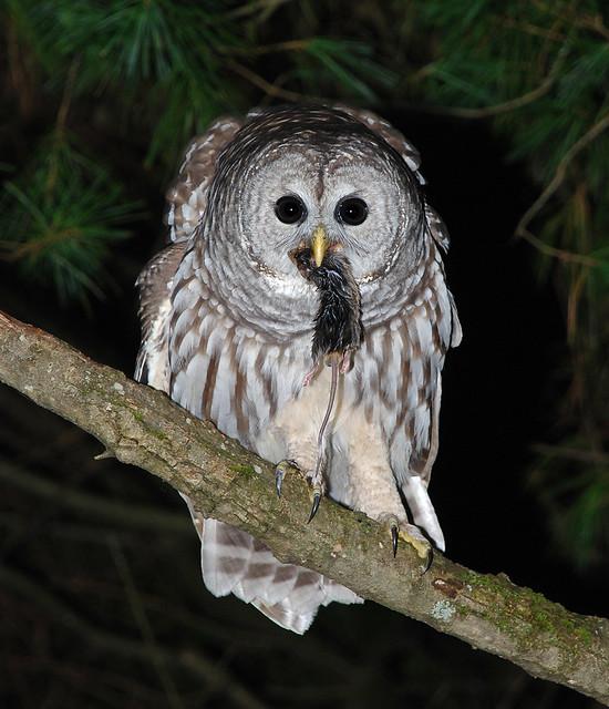 Owl 57 Barred Owl (Junior) (2...