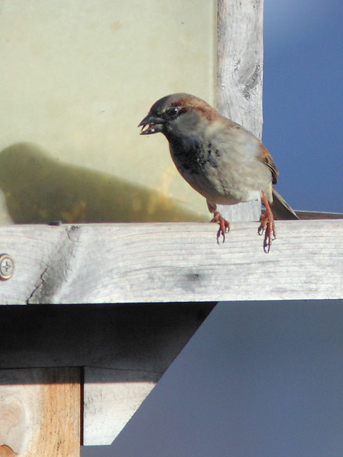 House Sparrow male 20121117