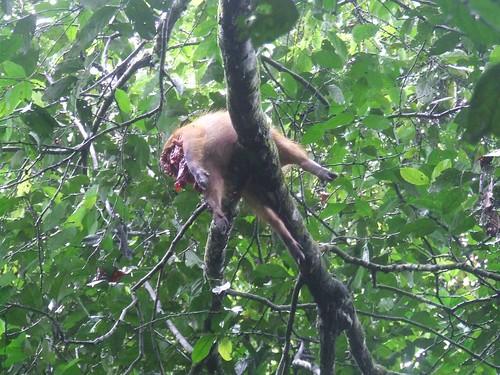 pig in tree