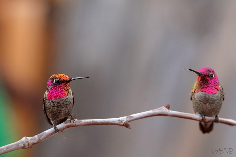 Anna's Hummingbird 112312-3